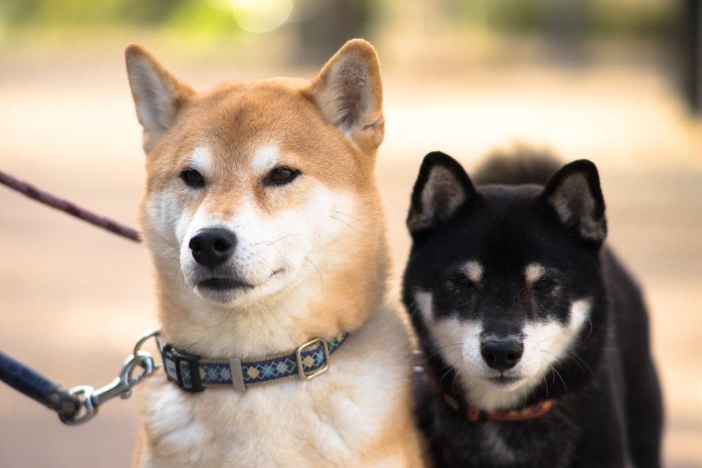 茶色と黒の柴犬